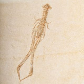 A FOSSIL CRAYFISH