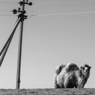 Camel in Steppe , 2014 - Maxim Korotchenko