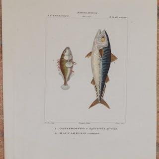 ZOOLOGIA ITTIOLOGIA ATRATTOSOMI Gasterosteo o spinarella piccola Maccarello