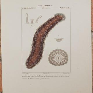 ZOOLOGIA ATTINOZOARI tav. 1162 OLOTURIDI Oloturia tubulosa
