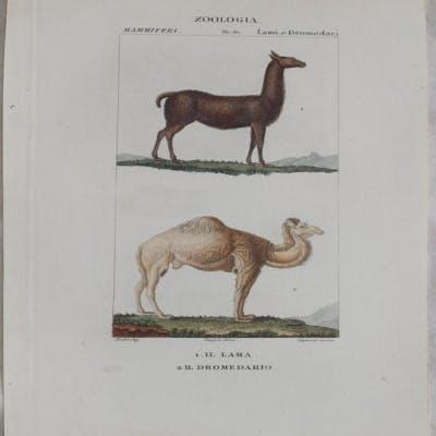 Il lama Il dromedario