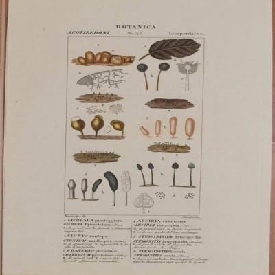 Botanica: Licogala punteggiato Lycogala punctatum Cionio zantopo Cionium