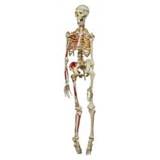 largely intact c. 1950's vintage medical flexibly ligamented human